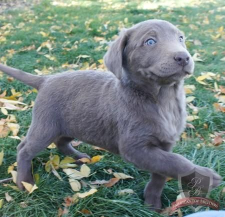 My Nephew Chris S New Silver Lab Puppy Happy Super Cute Puppies Silver Lab Puppies Lab Puppies