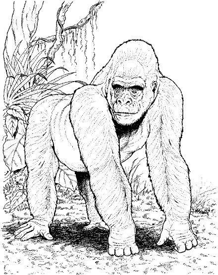 gorilla  animal reports  pinterest