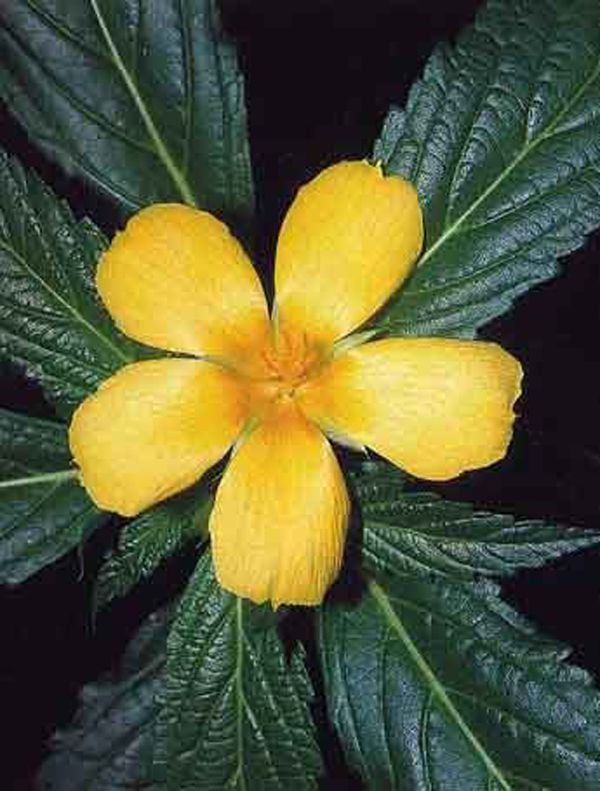 Damiana yellow flowering herbs pinterest herbalism herbs and damiana mightylinksfo