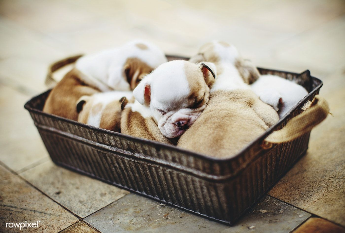 English Bulldog Puppies Free Image By Rawpixel Com Helena