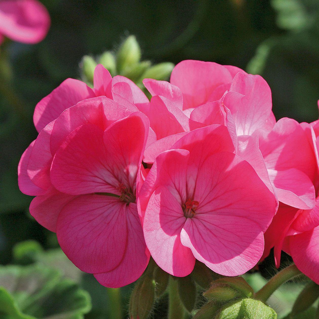 Flower Pot Plant Geraniums, Planting roses, Plants
