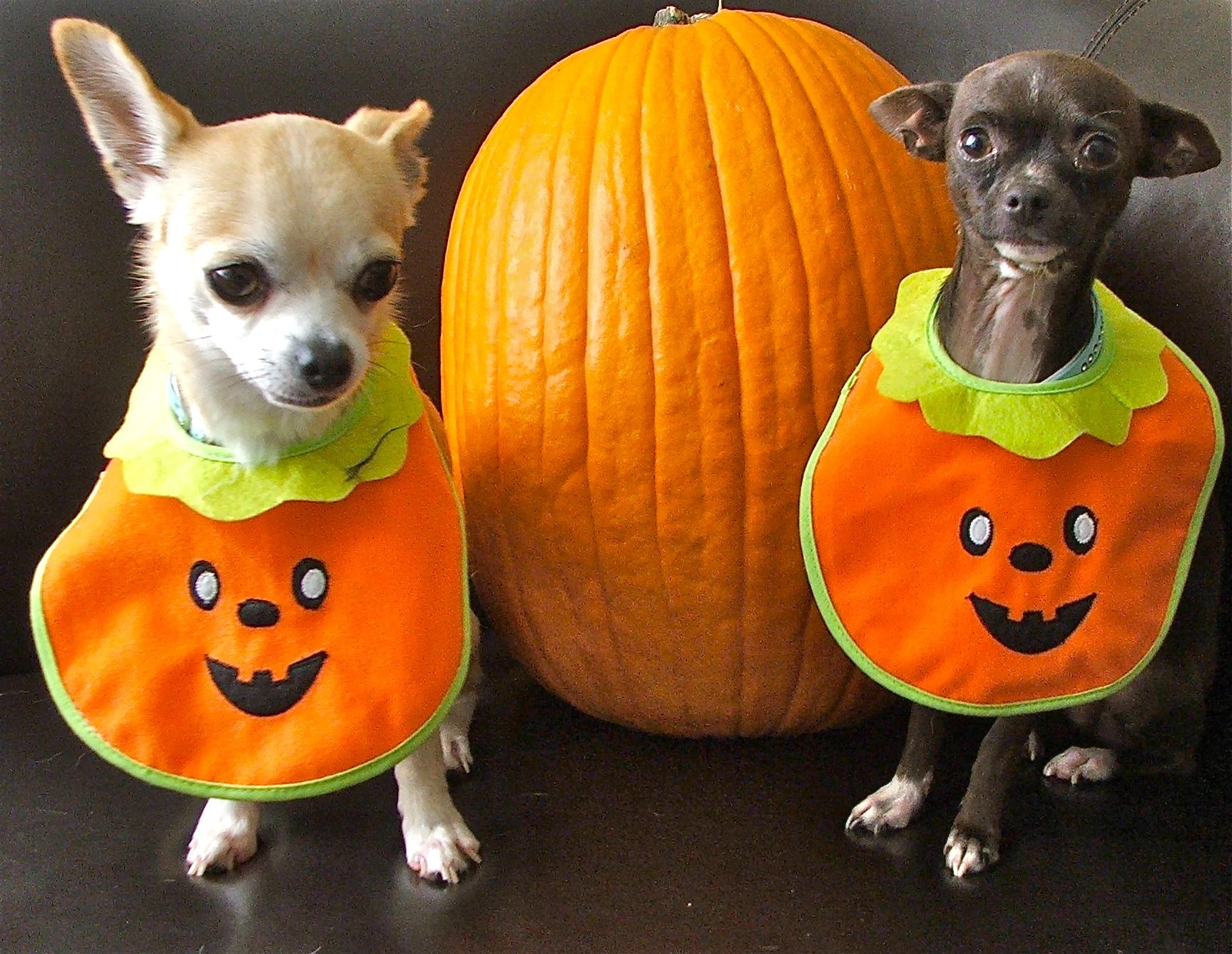 Halloween Chihuahuas {GROUP} Chihuahuas Best Dog Breed