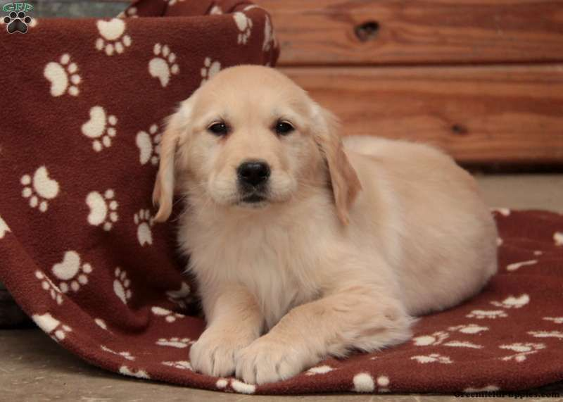 Pippa English Cream Golden Retriever Puppy For Sale In