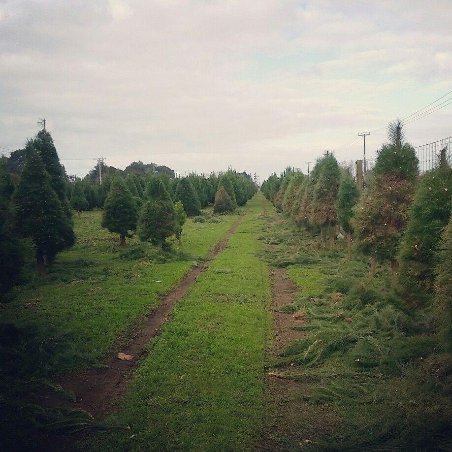Christmas Tree Farm Hamilton New Zealand Living In New Zealand Country Roads New Zealand