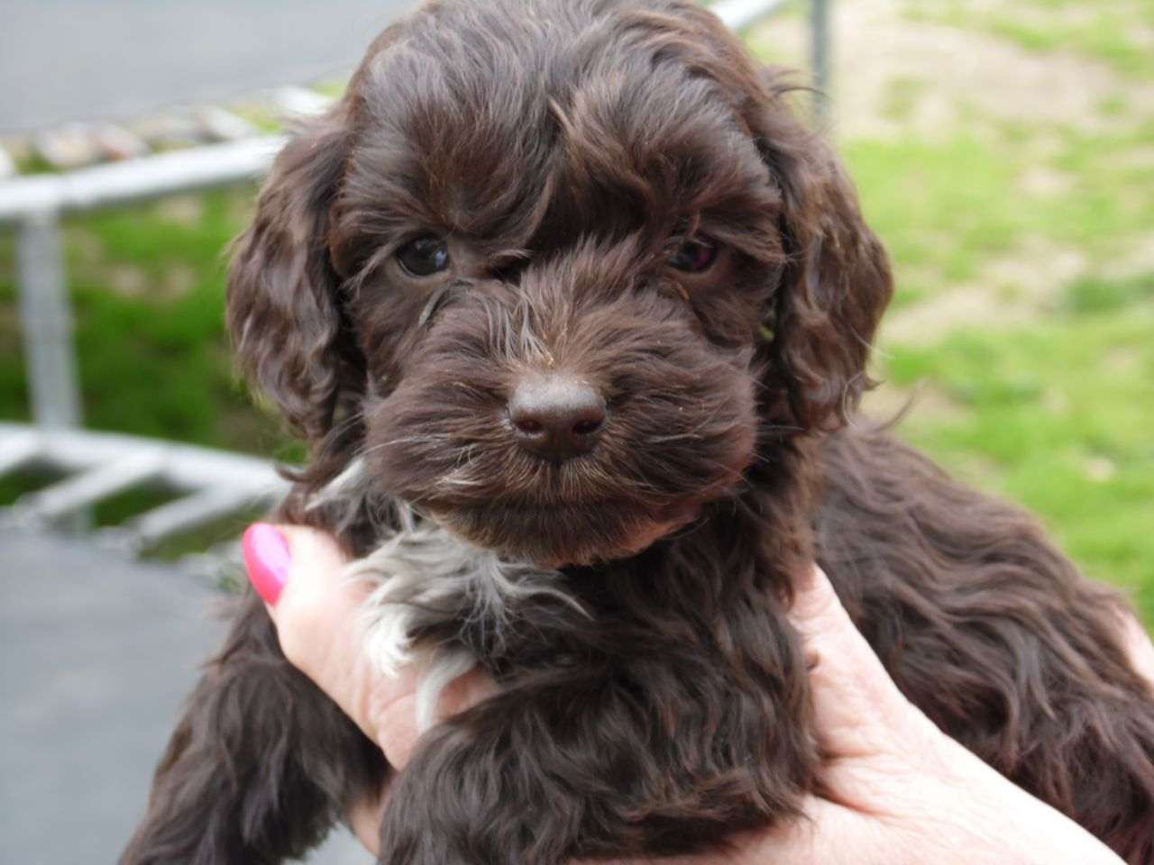 Cockapoo  F1 Cockapoo Puppies  600 Posted 6 Months Ago -1634