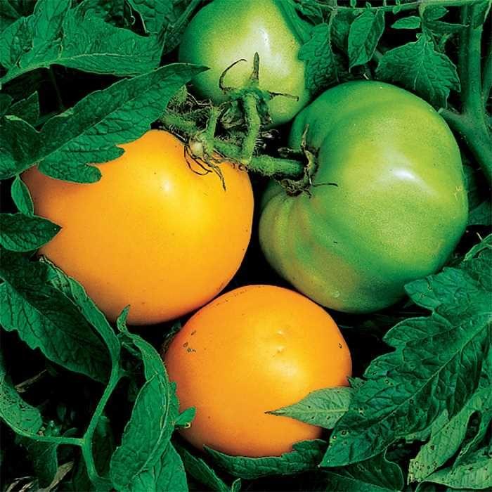 Nebraska Wedding Tomato Growing Tomatoes Organic 640 x 480