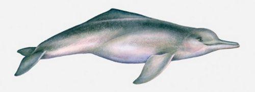 Amazon River Dolphin Amazon River Animal Drawings