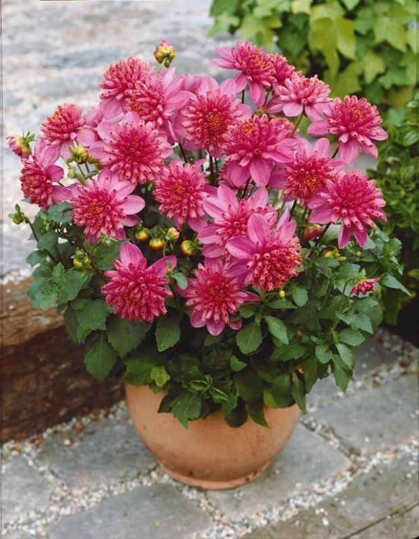 dahlia lilliput 39 diamant rose 39 mini plantes pour petit. Black Bedroom Furniture Sets. Home Design Ideas