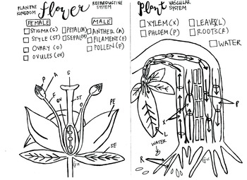 Flower Reproduction coloring sheet and Xylem and Phloem ...