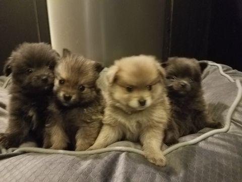 Pomeranian Puppy For Sale In Ottawa Oh Adn 49741 On Puppyfinder