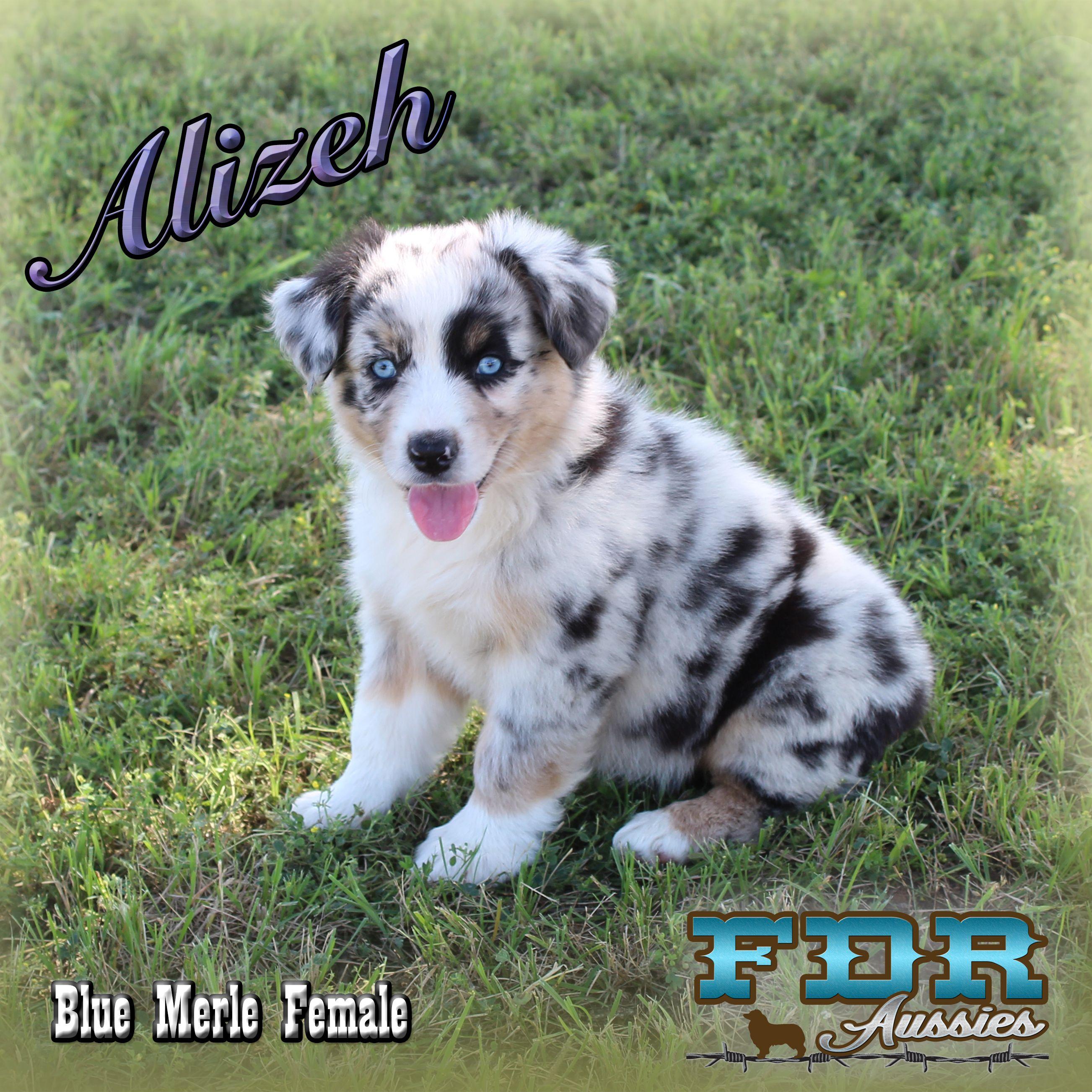 Kutter Spirit Blue Merle Miniature Australian Shepherd