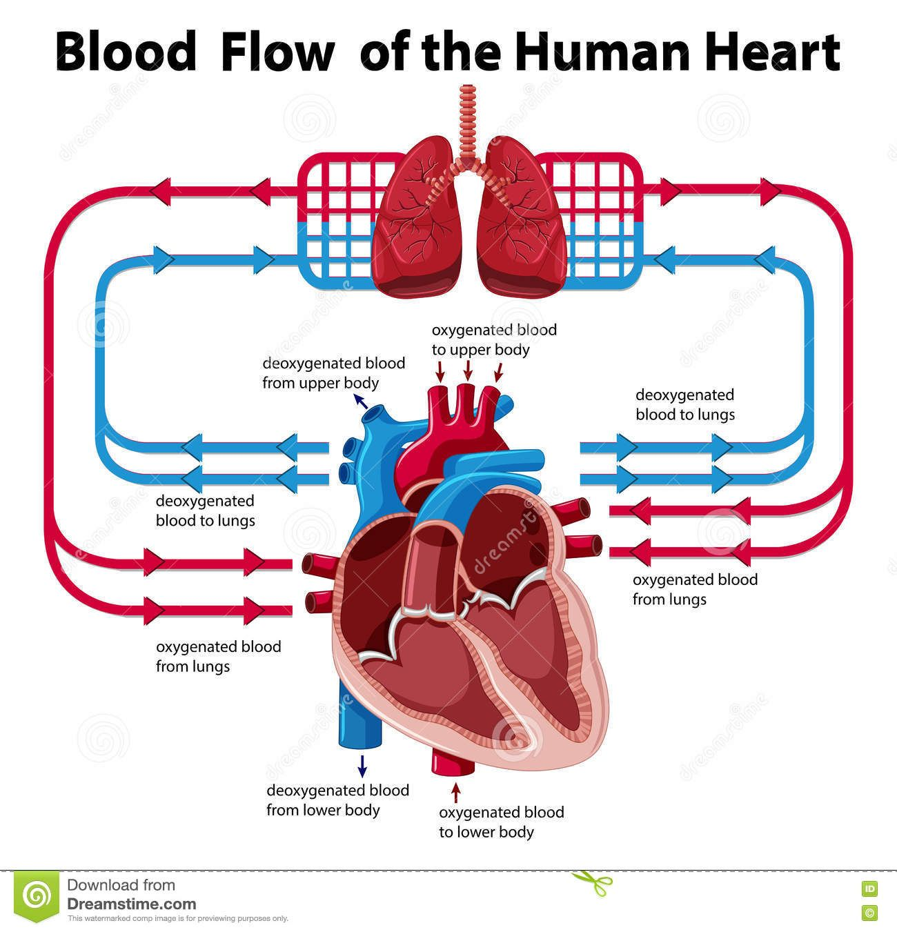 Diagram Showing Blood Flow Of The Human Heart Manual Guide