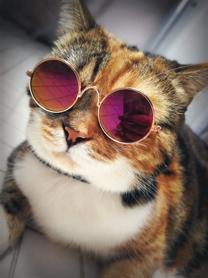 Notre Selection De Lunettes Ajoutera Une Touche De Style A Votre Chat Classes Et Elegantes Elles Le Sublimeront Sur Kitten Costumes Cat Sunglasses Cool Cats