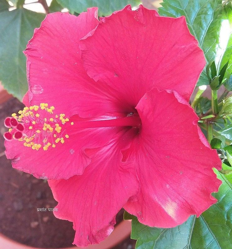 Hibiscus Home Garden Pune India Mobile Snap 11 02 2018 Hibiscus Hibiscus Modern Garden Landscaping Cactus Garden Landscaping