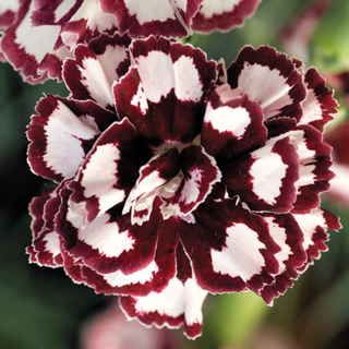 Coconut Punch Carnation 12in 12in 1 1 2 2in Bloom Pink Dianthus Plants Love Flowers