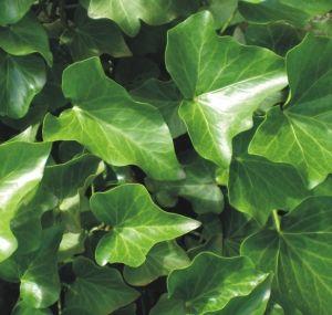 Bluszcz Irlandzki Wielki Zielony Ogrod Caly Rok 3078834080 Oficjalne Archiwum Allegro Plants Plant Leaves Organic Farming