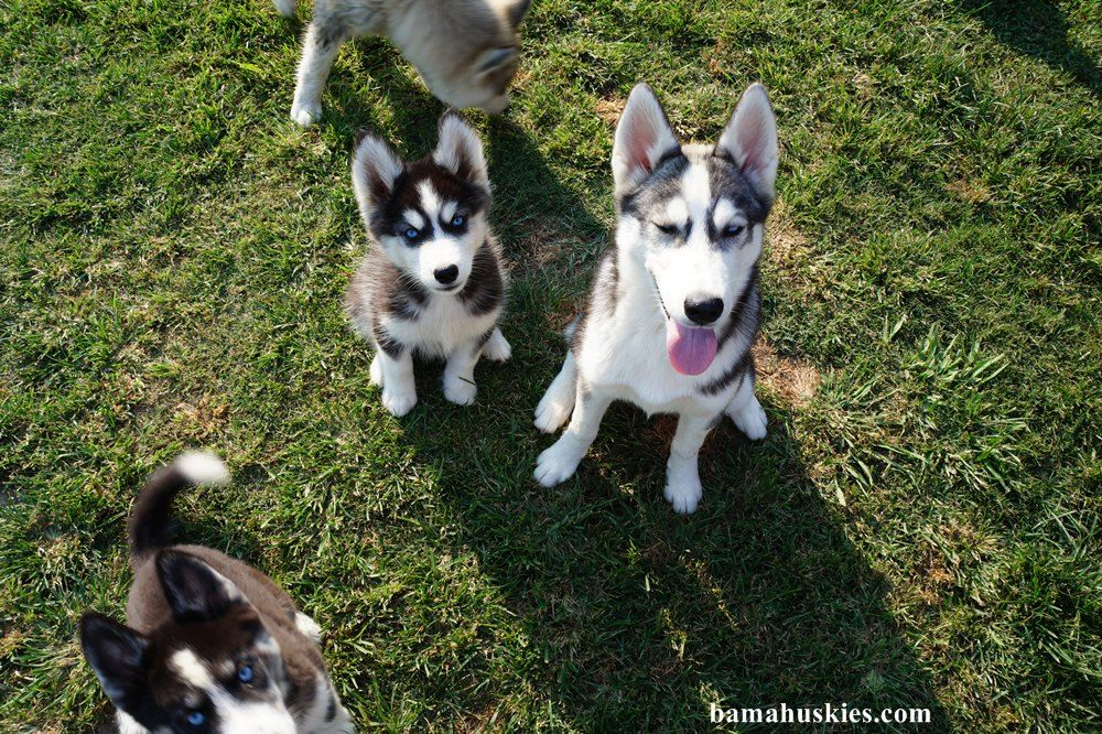 New Husky Puppy Pics We Have Husky Puppies For Sale Georgia