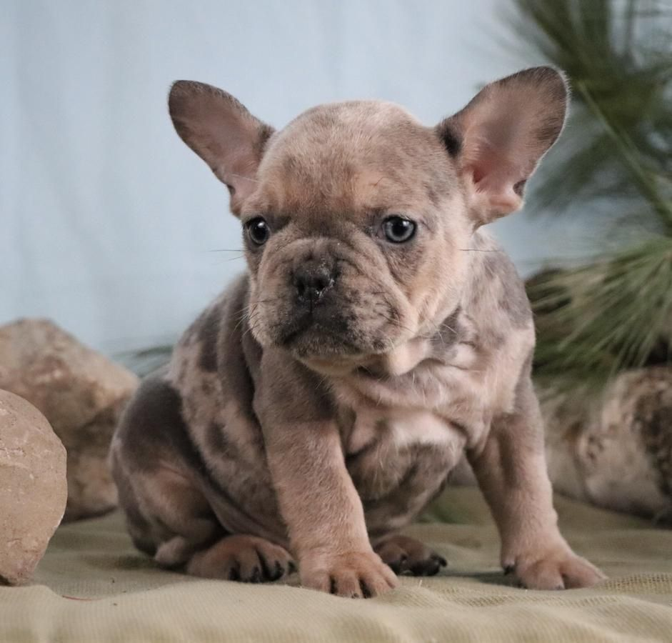 Adorable Uniquely Colored Akc French Bulldog Puppies