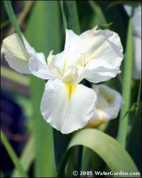 Iris White Are Available In The Uk England February For A Winter Wedding Purple And Pale Yellow Seasonal Fls Bouquet
