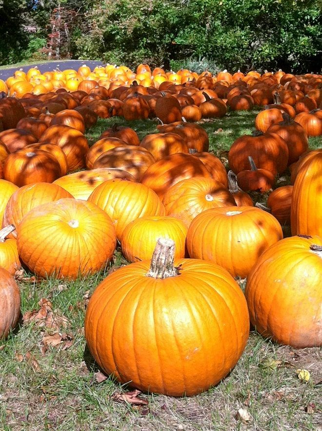 What says fall more than a field full of Pumpkins?