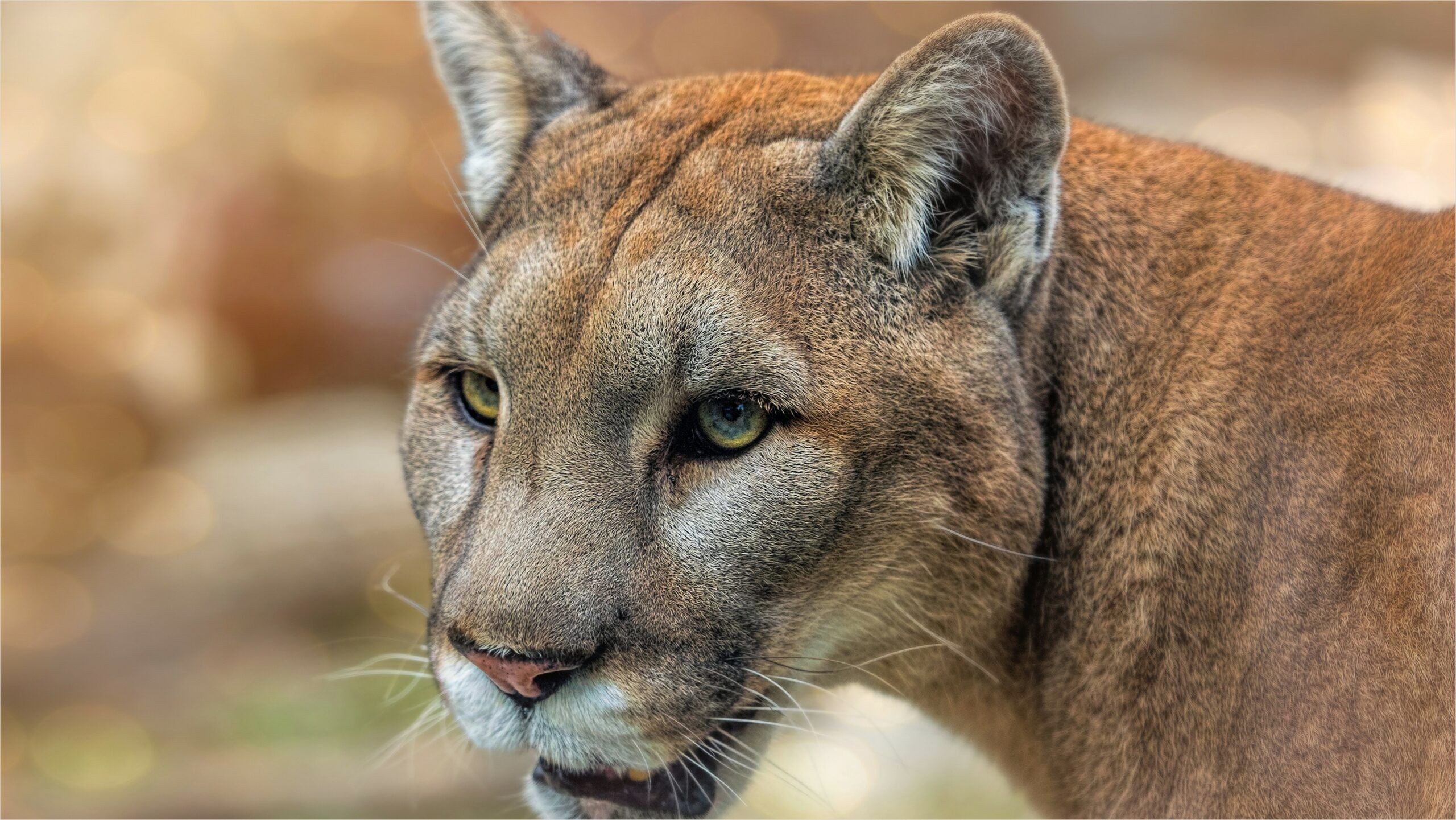 4k Mountain Lion Wallpaper In 2020 Animals Mountain Lion