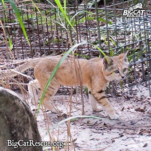 Canyon - Sand cat - Because their populations are so few, they have a loud mating call, which resembles the barking of a small dog. Their other vocalizations include meowing, growling, hissing, spitting, screaming and purring.