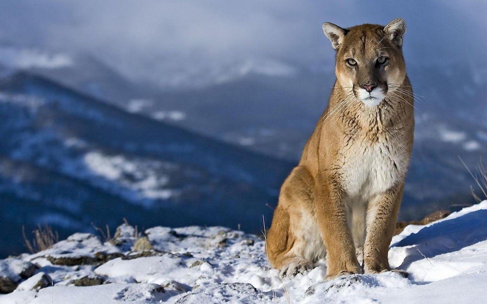 Mountain Lion Wallpaper 퓨마 사자 배경화면 야생 동물