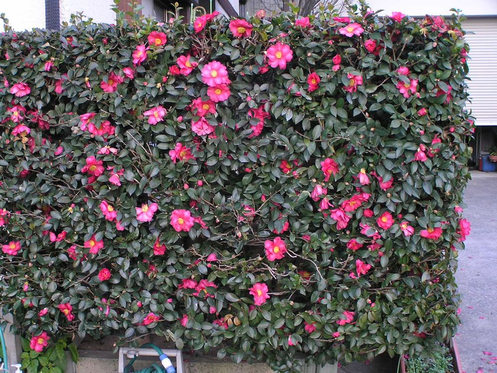 Camellia Japonica Hedge Would This Grow In Vegas Hedges Garden Front Of House Planting Flowers