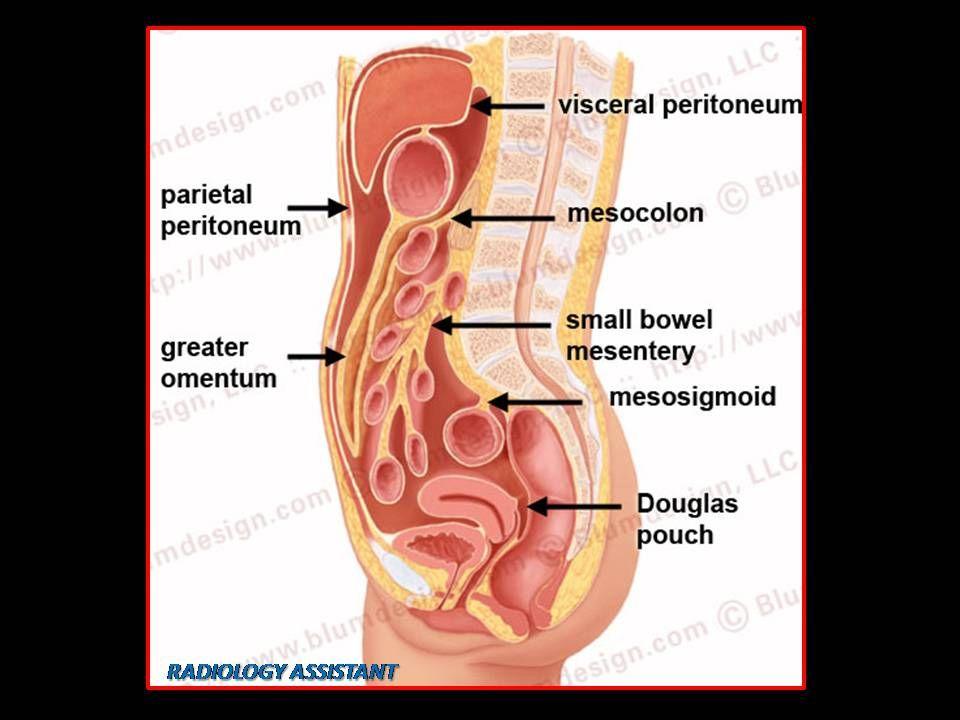 Resultado de imagen para membrana parietal y visceral del abdomen ...