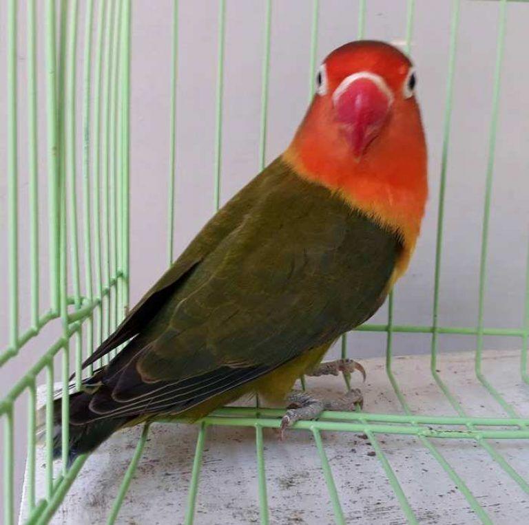 Gambar Lovebird Warna Dark Green Love Birds Pet Love Birds Beautiful Birds