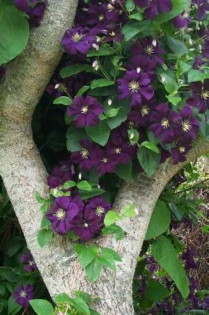 Clematis ~ my gardening class at the Los Angeles Arboretum highly suggested pairing clematis with roses. plant clematis at the base of the rose & cover the clematis roots with a rock to shade them. the plants will be very happy & beautiful together