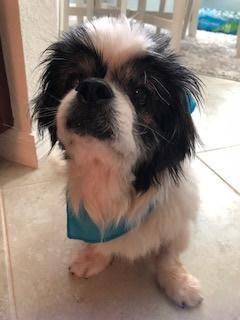 Adopt Oreo On Dog Activities Shih Tzu Dog Adoption