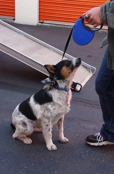 Adopt Montana On Dogs Rescue Dogs Corgi