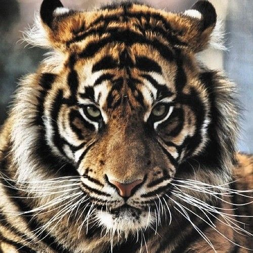 chris rock tiger went tiger