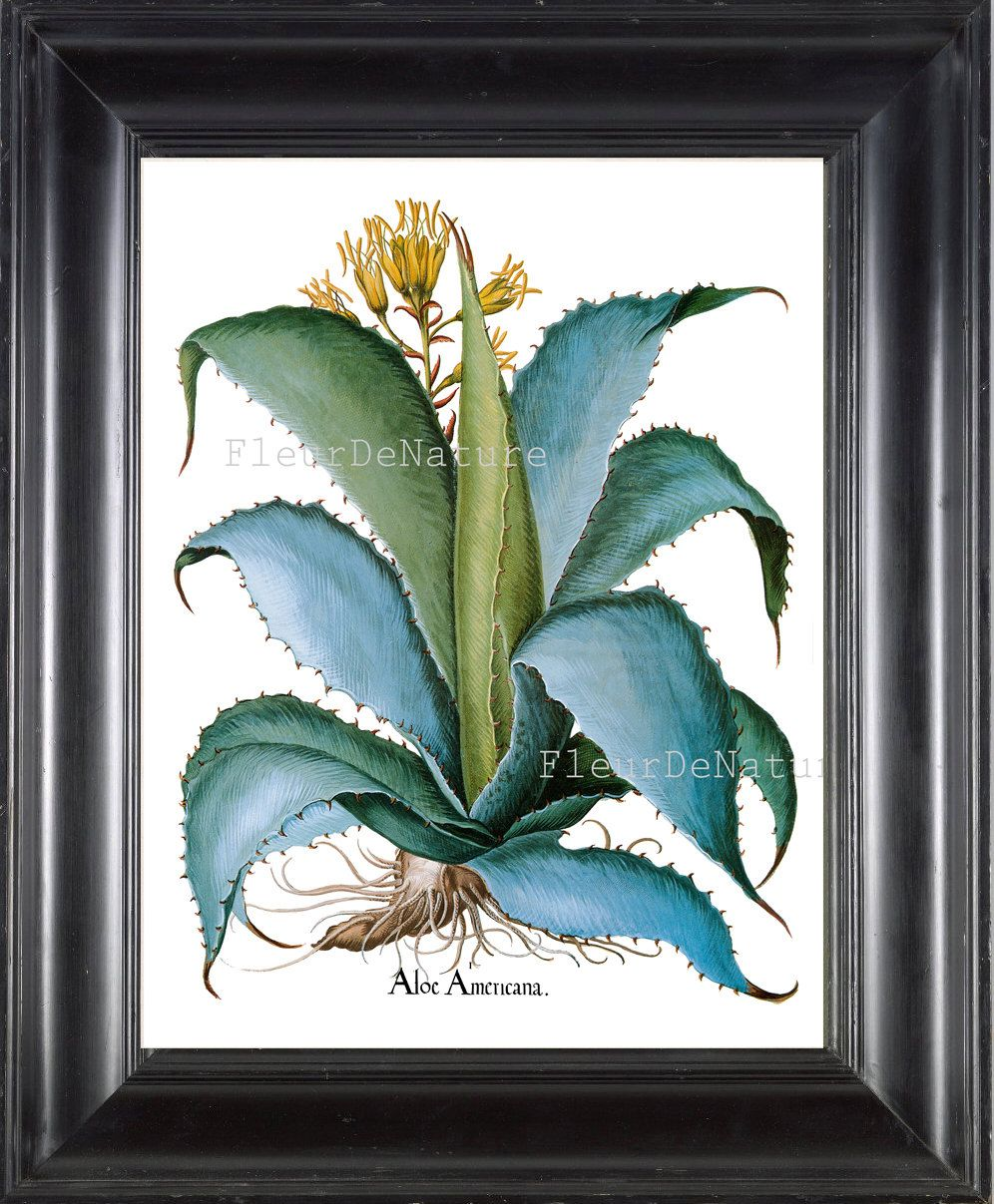 Biais impression botanique 8 x 10 botanique Art Print 80 Aloe grand belle plante fleur bleue écriture Antique Tropical Nature par FleurDeNature sur Etsy https://www.etsy.com/fr/listing/176991352/biais-impression-botanique-8-x-10