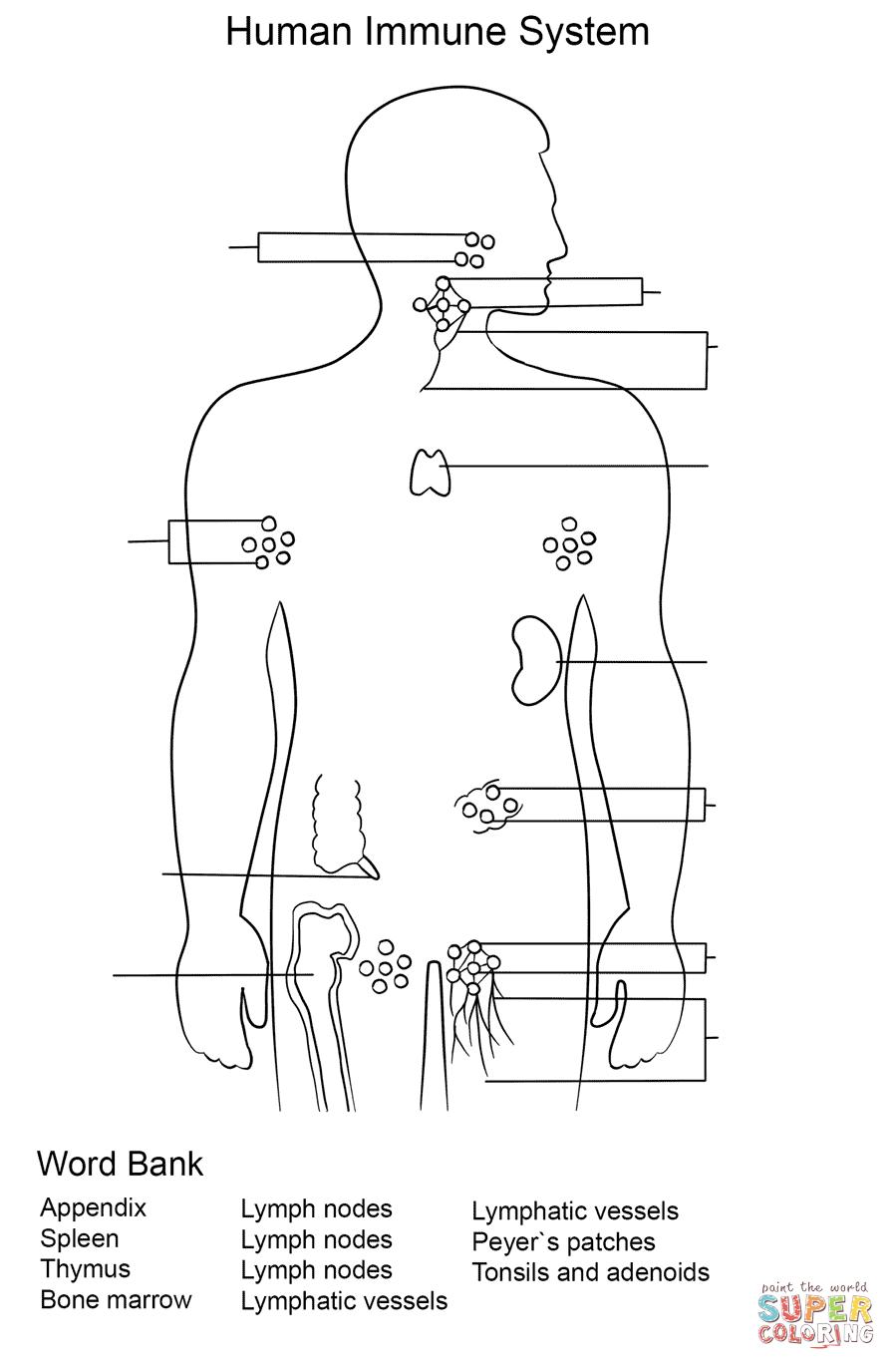 Immune System Worksheet coloring page Free Printable