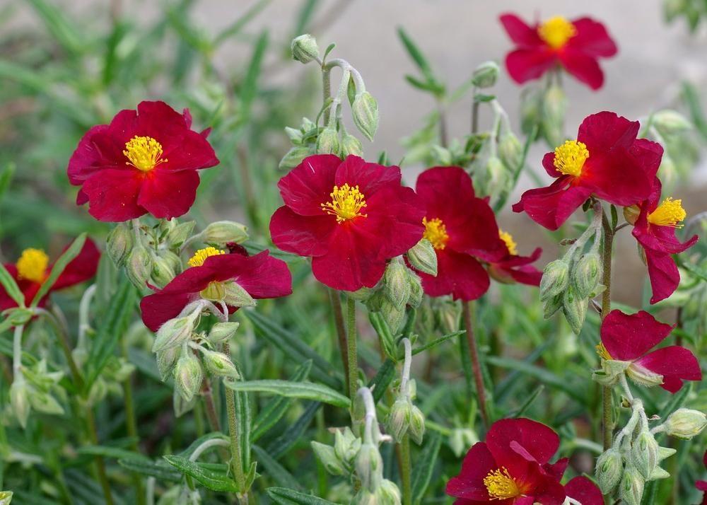 Photo of rock rose helianthemum nummularium mesa wine uploaded photo of rock rose helianthemum nummularium mesa wine uploaded by dirtdorphins mightylinksfo