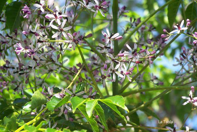 La Tabla en El Jardín: Melia acedarach: mirando al tendido de enero a abril