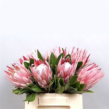 Proteas Cynaroides King Wholesale Flowers Uk Wedding Flowers Protea Protea Flower Flowers Uk Flower Arrangements