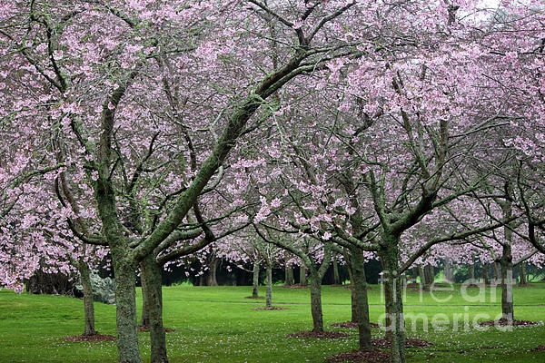 Cherry Blossoms In Bloom At One Tree Hill Auckland New Zealand Blossom Cherry Blossom One Tree