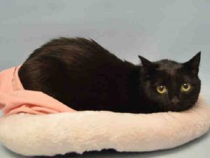 RETURN - MISTY'S OWNER RETURNED HER FOR MOVING - SHE IS NOT QUITE 2 YRS OLD - PLEASE GIVE THIS STUNNING HOUSE PANTHER A NEW HOME!