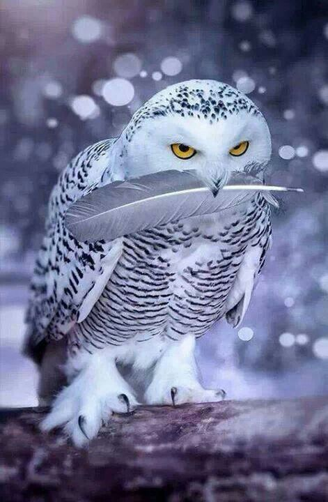 Snow Owl holding a feather