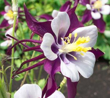 Colorado's State Flower - Columbine
