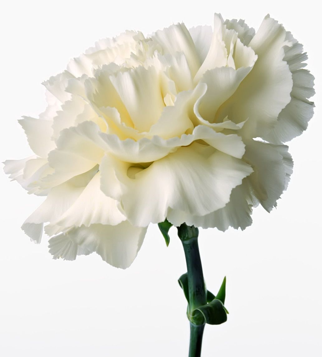 The white carnation is a perennial plant that expands from 1 to 2 ...