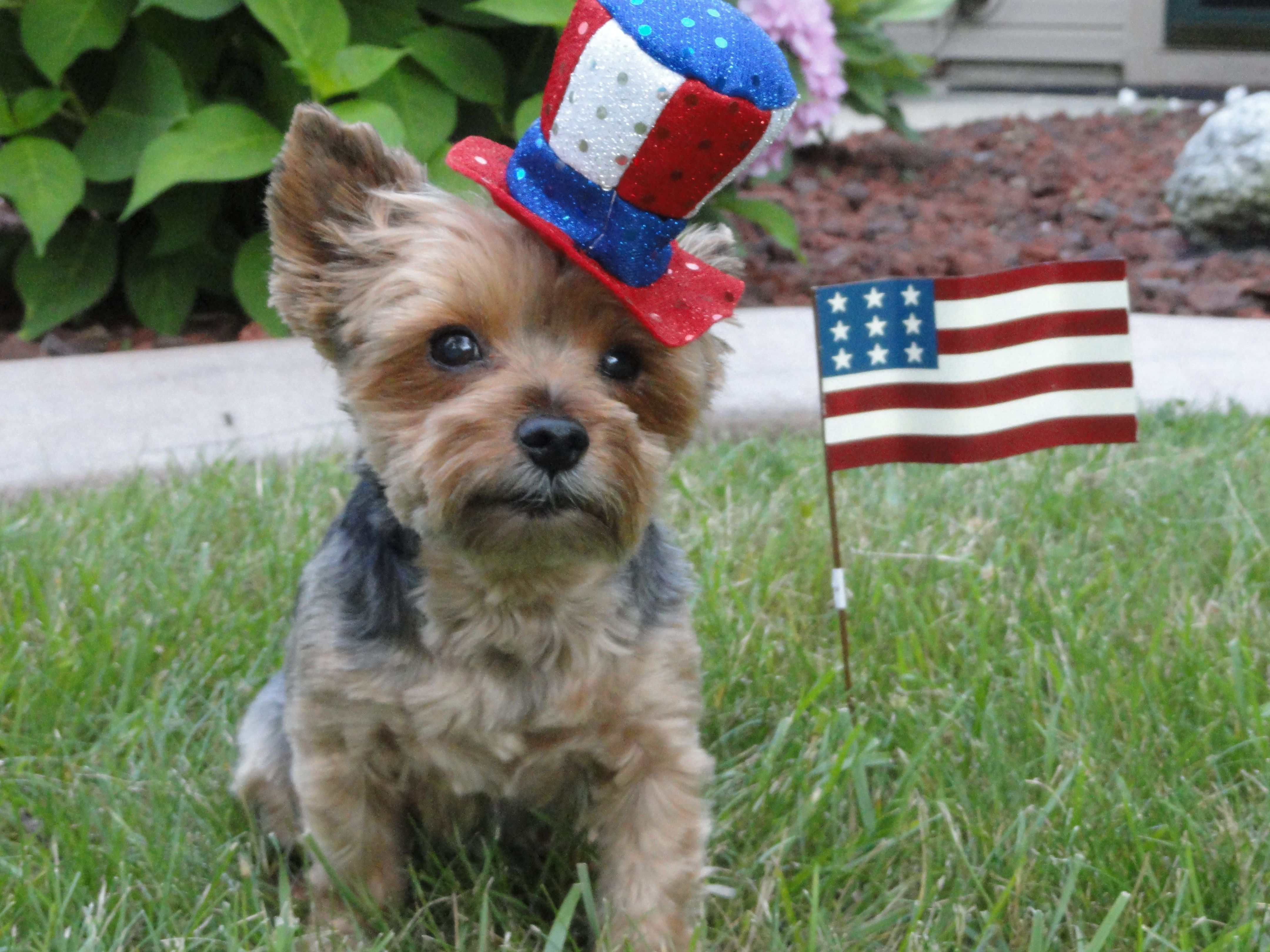 Yorkie Cute 4th Of July Photo 4th Of July Photos Pink Pages Yorkie