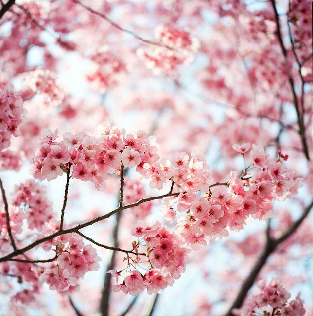 Cherry Blossom Blossom Trees Cherry Blossom Cherry Blossom Tree