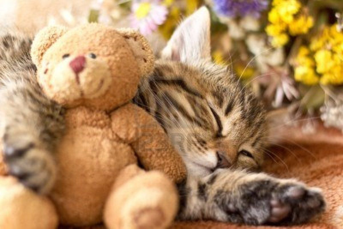 Stock Photo Teddy Bear Pictures Sleeping Kitten Bear Pictures