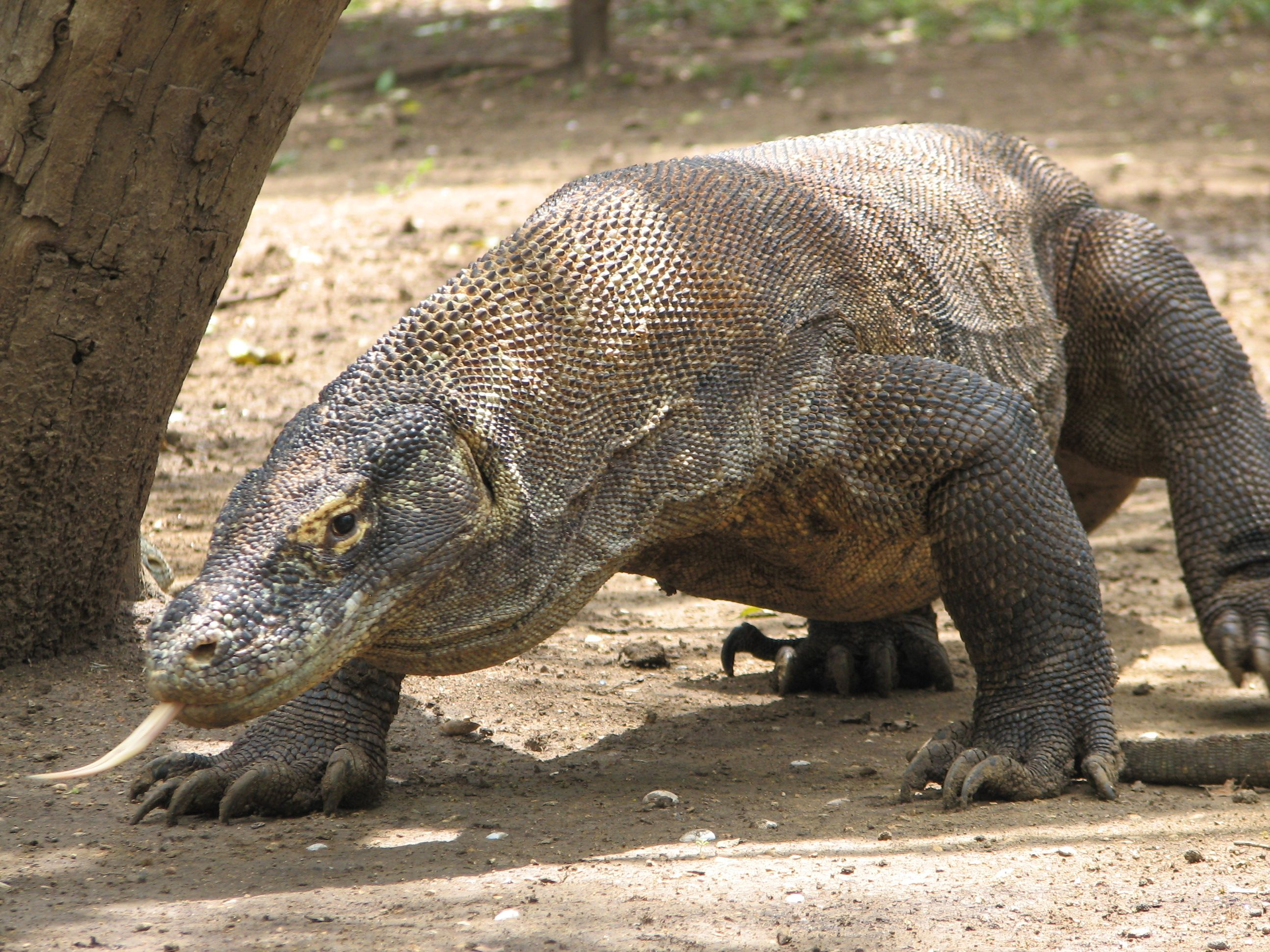 Life Cycle and Reproduction - Komodo Dragon | Sharks and Comodo ...