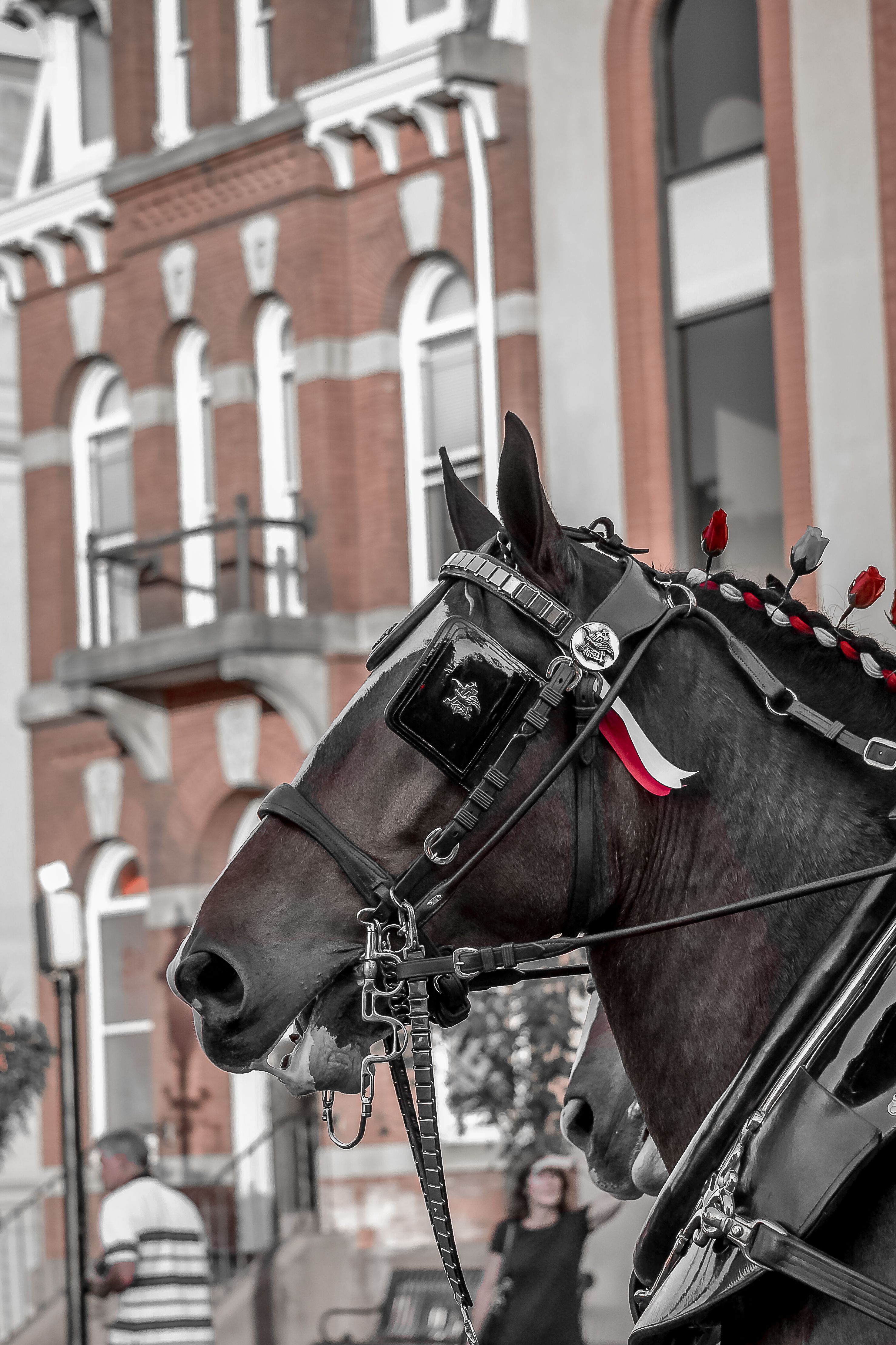 Clydesdales at Old Intelligencer Building