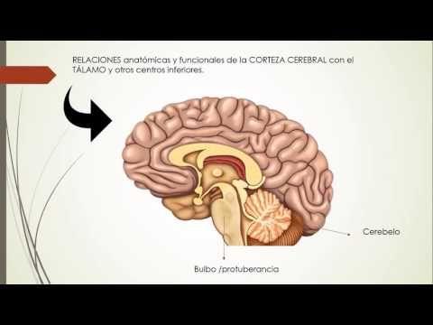 Anatomía y Fisiología de la corteza cerebral. Áreas, funciones del ...